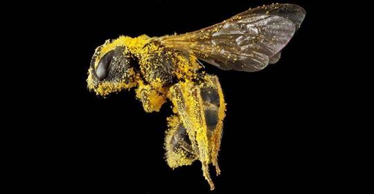 L'abeille est déclaré l'être vivant le plus important de la planète car elle est indispensable à toute vie.